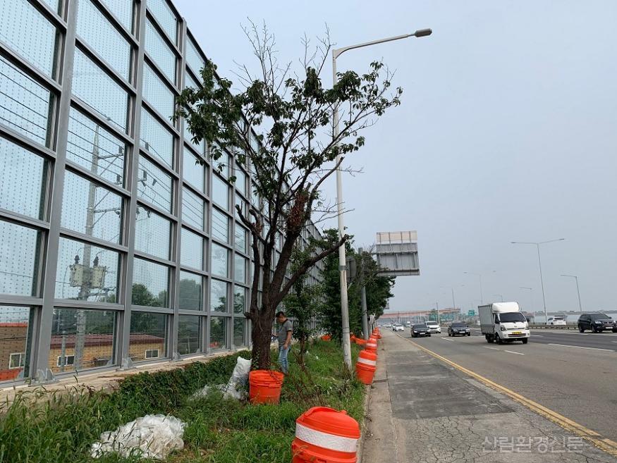 고사 중인 왕벚나무.JPG