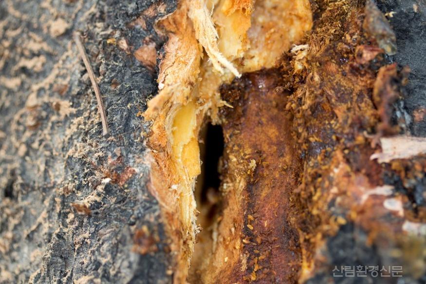 유충의 목질부 침입공.jpg