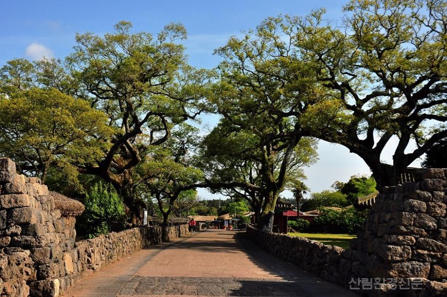 04. 성읍리 팽나무.jpg