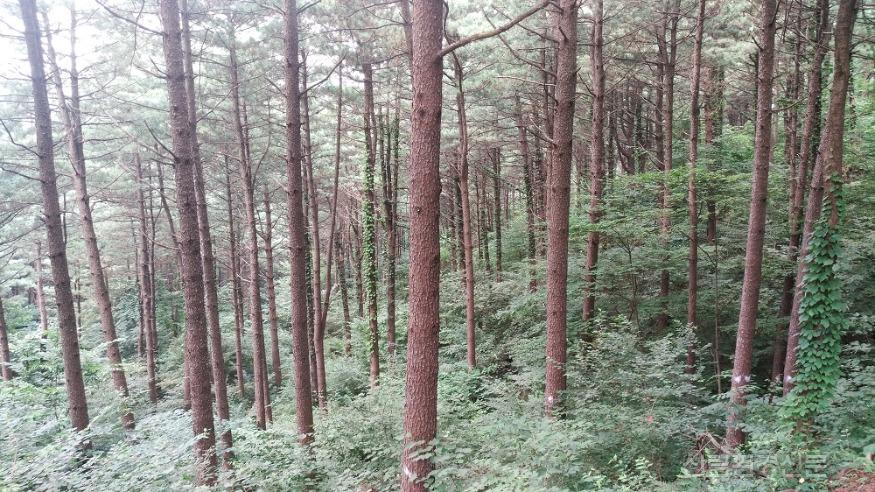 숲가꾸기가 잘된 가꿔진 숲 전경.jpg