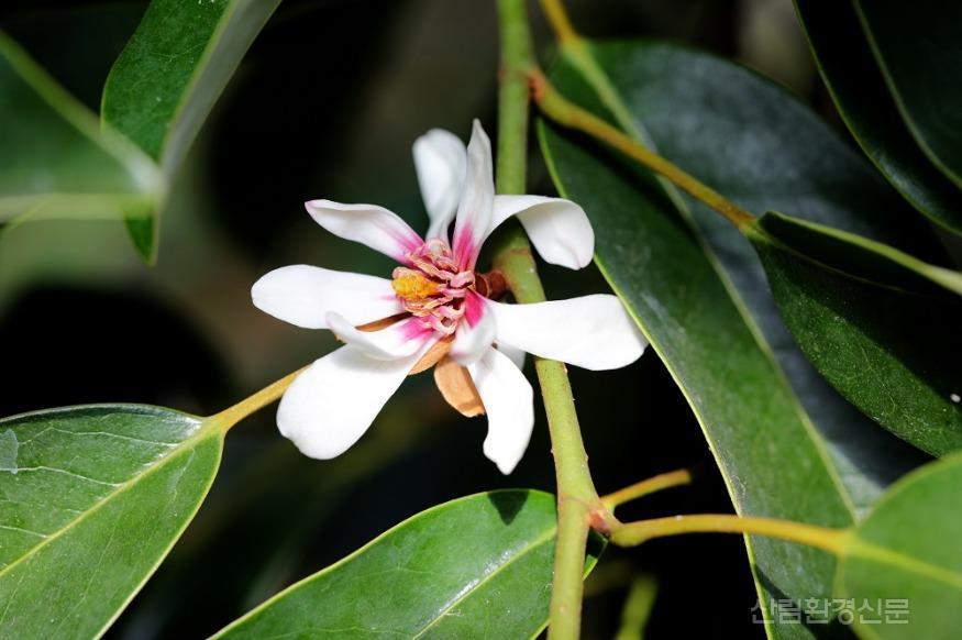 천리포수목원 멸종위기식물전시온실에 핀 초령목(M agnolia compressa) (1).jpg