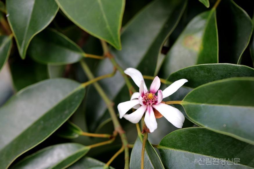 천리포수목원 멸종위기식물전시온실에 핀 초령목(M agnolia compressa) (2).jpg