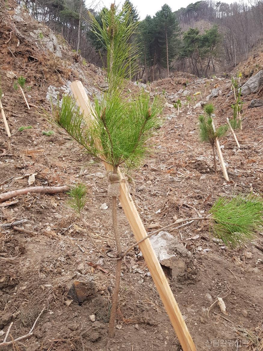 소나무 묘목 식재.jpg