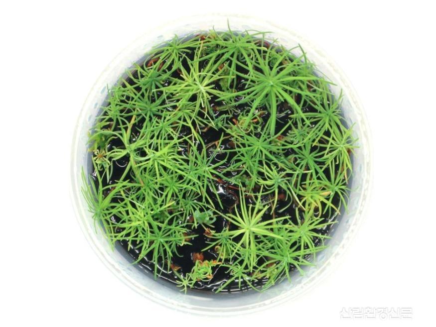 3. 체세포배 발생 식물체 생산.JPG