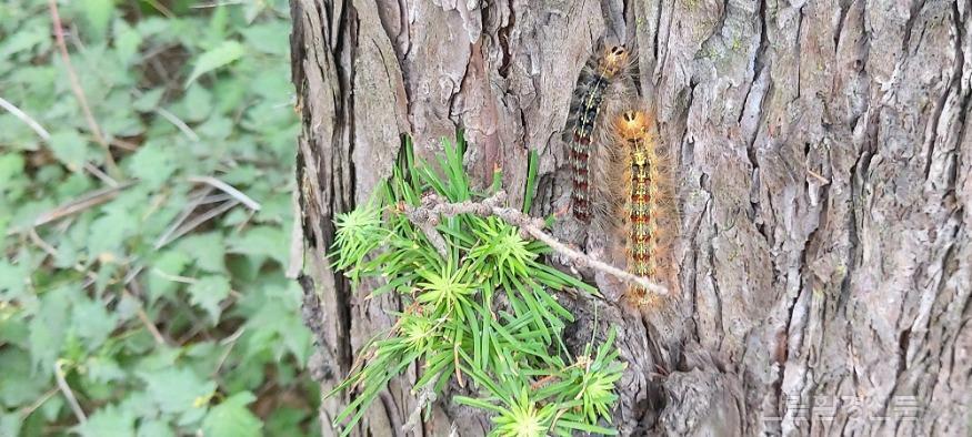 (관련사진) 매미나방 유충.jpg
