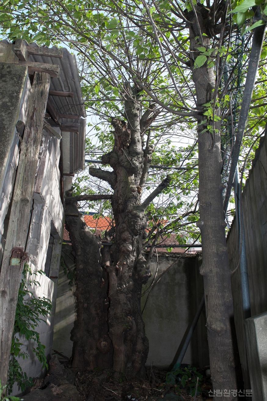 경남 진주시에 있는 60년생(추정) 닥나무-높이 8.5m, 둘레 165cm.jpg