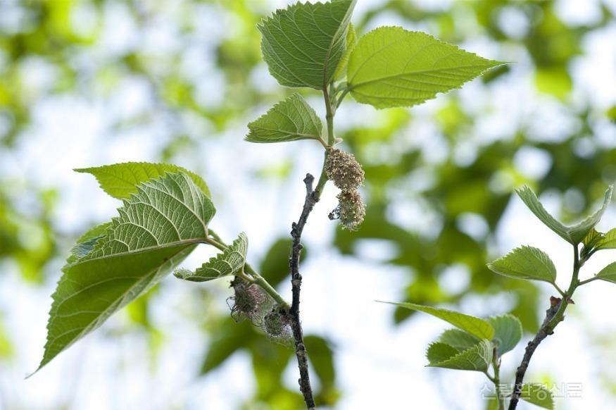 닥나무 꽃 _ 윗부분은 수꽃, 아랫부분은 암꽃.jpg