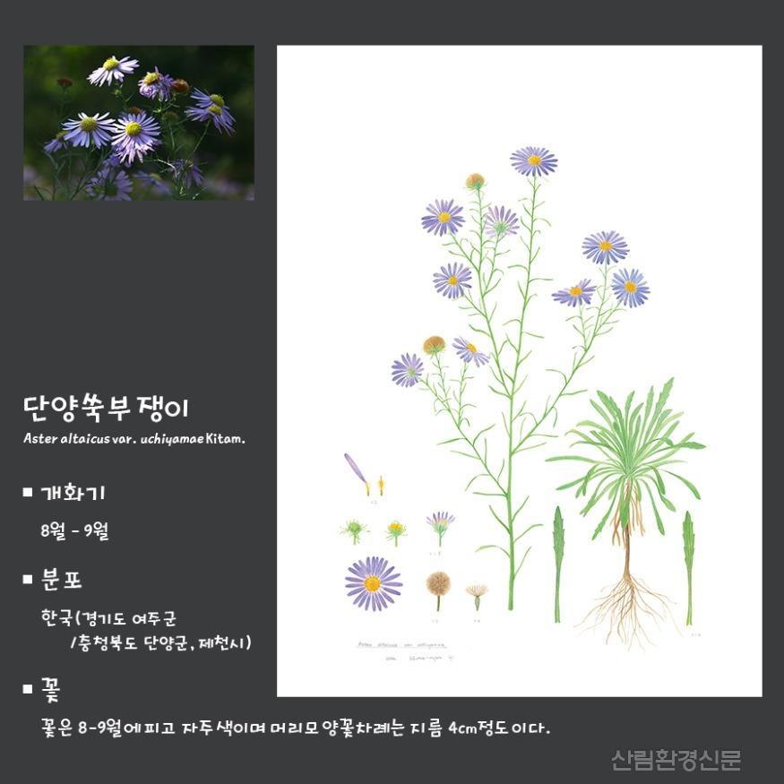 국화과_바로알기카드_단양쑥부쟁이.jpg