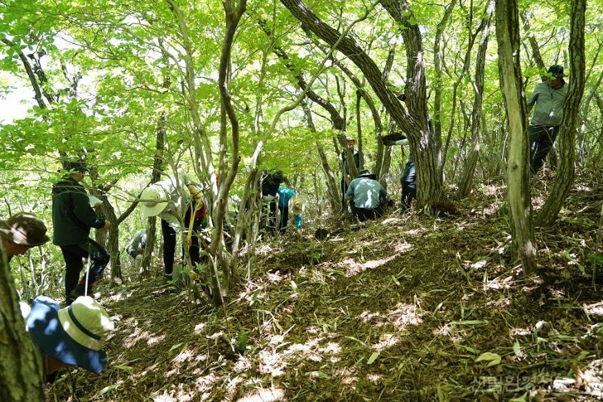 3.구상나무 어린나무 복원식재.JPG