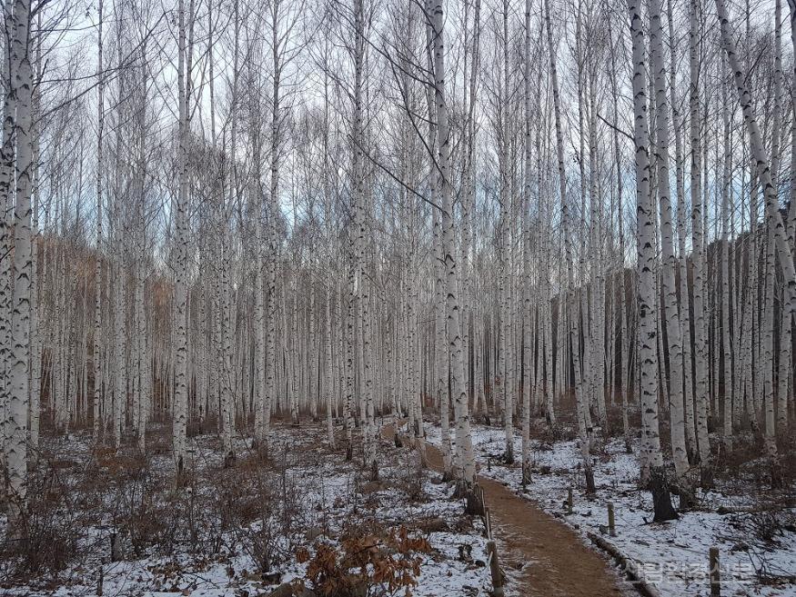 겨울 인제 자작나무 숲 경관 1.jpg