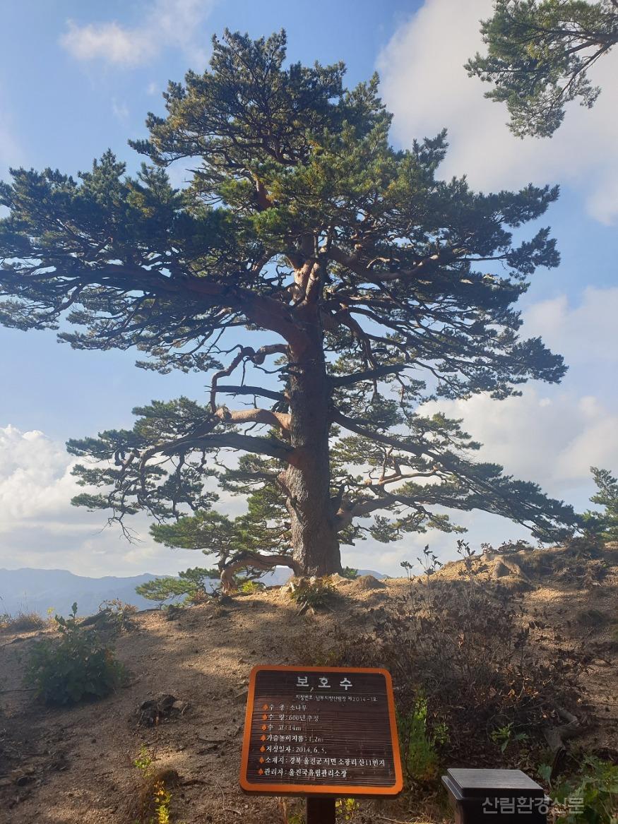 관련사진(대왕소나무).jpg