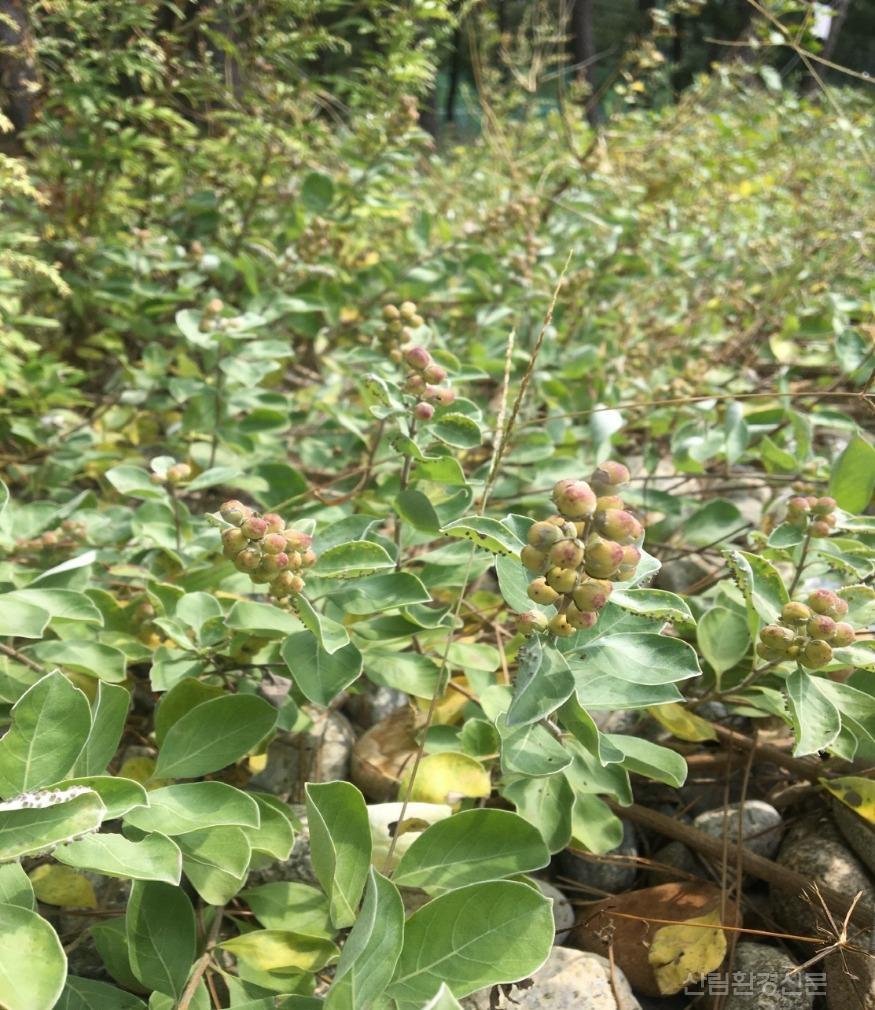 1.순비기나무 열매.jpg