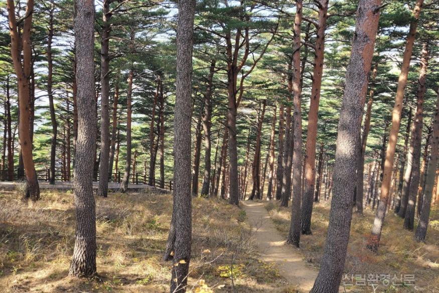 11.20_사진자료 1 대관령소나무숲길 전경.jpg